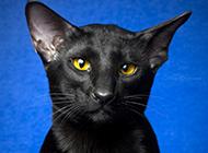 老實聽話的孟買貓圖片