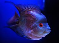 可爱活泼的珍珠罗汉鱼图片