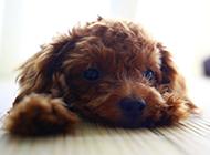 可怜卖萌的玩具贵宾犬图片