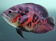 红地图鱼色彩斑斓图片