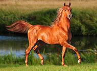 草原上奔跑的骏马高清图片