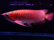 紫艷辣椒紅龍魚圖片高清