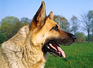 強壯的頂級德國牧羊犬圖片