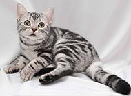 纯种美国短毛猫卖萌图片