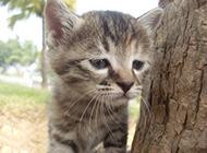 小貍花貓憂郁逗趣表情圖片