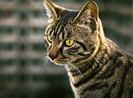 貍花貓眼神犀利圖片