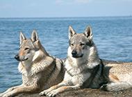 海邊優雅眺望的捷克狼犬圖片