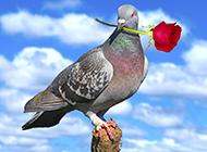 高清漂亮鸽子图片壁纸