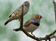 珍珠鸟树枝成双嬉戏图片