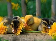 可爱小鸭子图片呆萌迷人