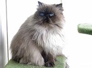 喜马拉雅种猫调皮爱玩图片