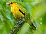 优雅的金黄鹂鸟图片