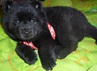 小黑熊犬居家可愛特寫圖片