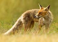 狡猾的心爱狐狸图片
