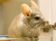 南美洲栗鼠图片呆萌神情惹人笑