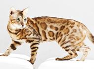 中華豹貓高清壁紙圖片大全
