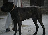 庫達犬霸氣側影圖片