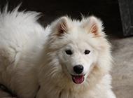 薩摩耶犬帥氣吐舌圖片