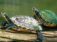 古老的传奇 乌龟的生活