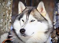 可爱的阿拉斯加雪橇犬图片
