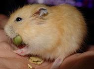 贪吃的小布丁仓鼠图片