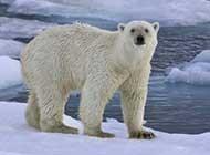 白白胖乎乎的北极熊高清写真