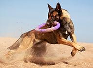 昆明狼犬沙地訓練圖片勇敢自信