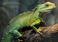 热带雨林可爱小蜥蜴图片