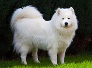 薩摩耶犬傲嬌神態圖片