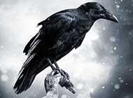 枯藤老樹上的烏鴉意境圖片