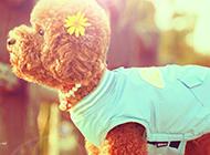 可愛的玩具貴賓犬圖片