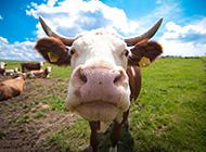 草原上可爱的牛图片