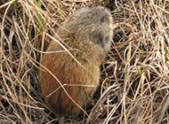 身材肥嘟嘟的旅鼠圖片