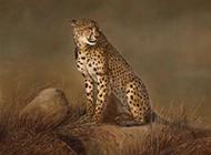 迅捷的猫科猛兽豹子图片高清特写