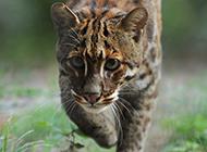 自信勇猛的金猫图片