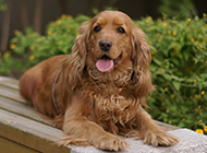 英國可卡犬戶外甜美寫真圖片