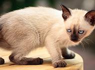 泰国猫暹罗猫图片萌萌哒