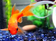 小金鱼自由玩耍图片