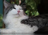纯色挪威森林猫懒洋洋图片