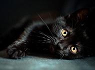 孟買貓頑皮撒嬌圖片