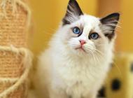 2016萌宠布偶猫图片大全