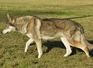 草地休閑散步的捷克狼犬圖片