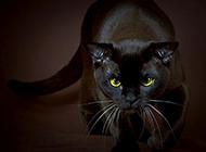 眼神犀利霸氣的孟買貓圖片