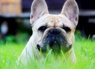 正宗法国斗牛犬图片 法国的斗牛犬