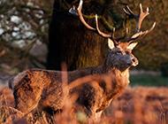 森林珍稀动物麋鹿图片壁纸