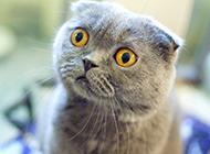 灰色折耳貓圖片迷倒眾生