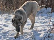 純種狼青犬雪地自由玩耍圖片