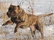 強悍加納利犬雪地奔跑圖片