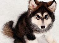小雪橇犬超萌图片欣赏