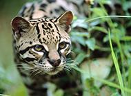 純種豹貓食肉類動物圖片大全